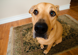 remove pet stains, urine and odor from rugs and carpet